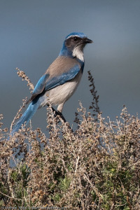 Western Scrub Jay in MT