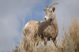 Bighorn Sheep MT