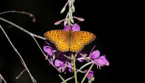 Montana Butterfly
